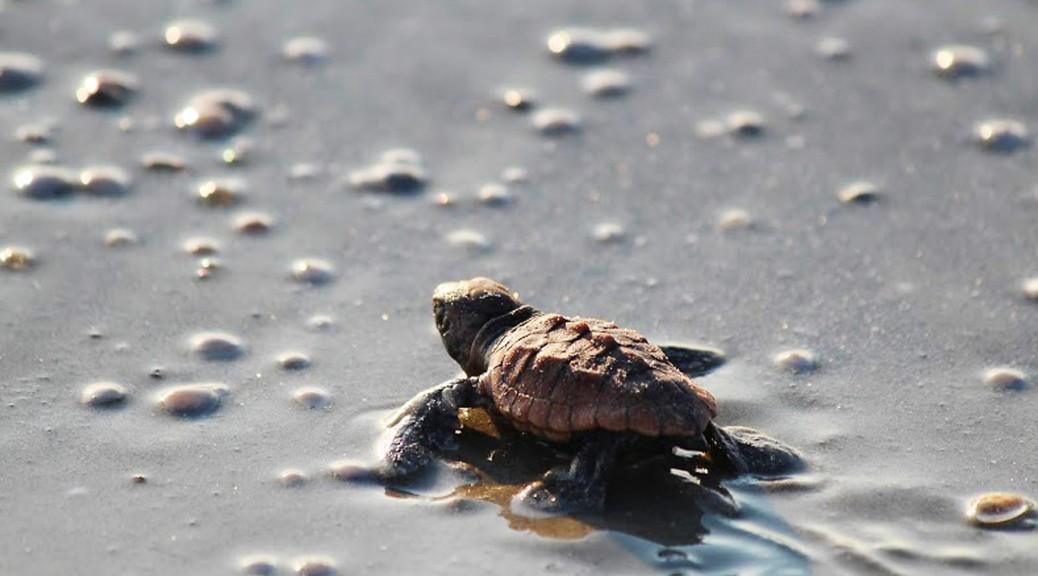 Eine frisch geschlüpfte Unechte Karettschildkröte auf dem Weg ins Meer. Foto: Georgia Sea Turtle Center, Breanna Ondich.