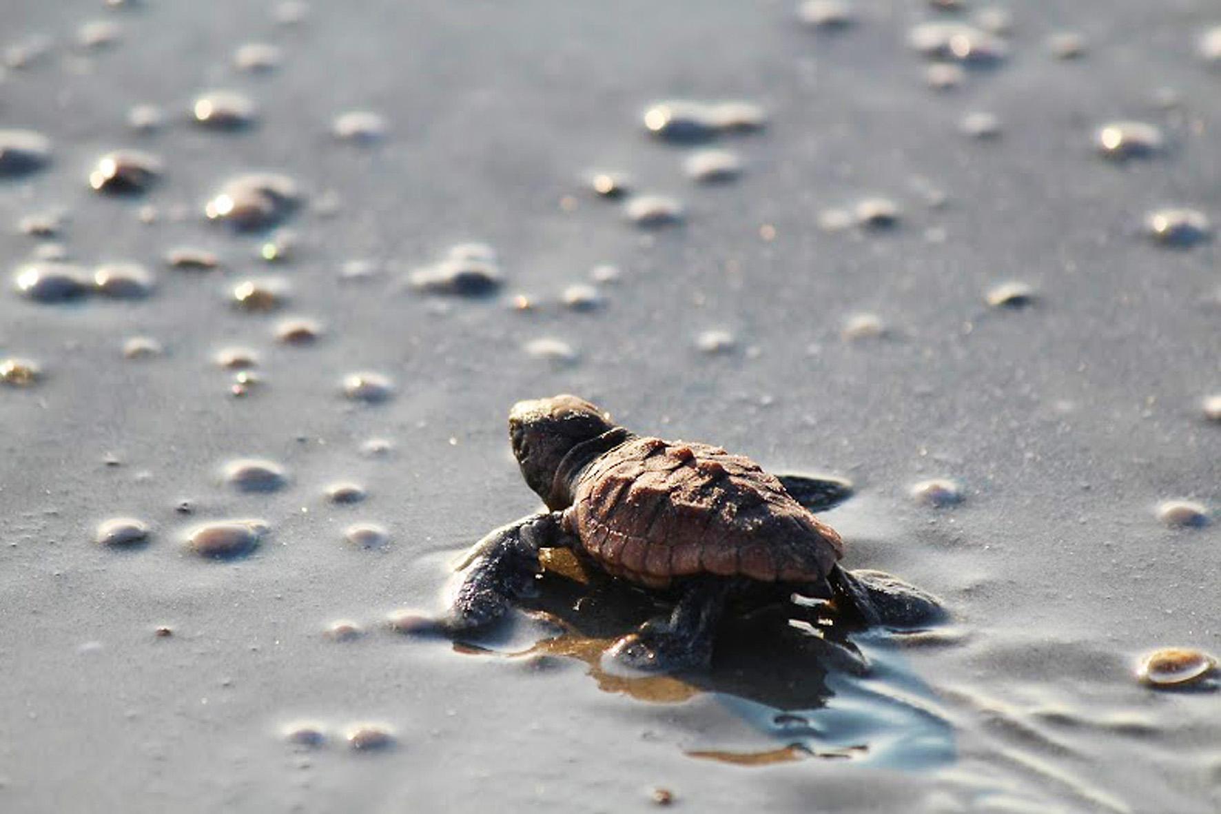 Meeresschildkröten in Georgia