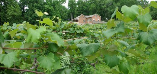 Nauvoo State Park / Reben von Baxters Vineyards und Winery (photo: Illinois PR)