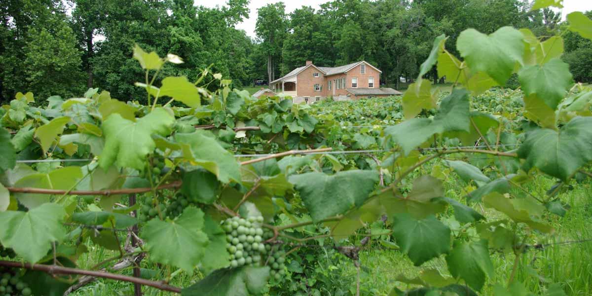Nauvoo State Park / Reben von Baxters Vineyards und Winery (photo: Illinois PR)