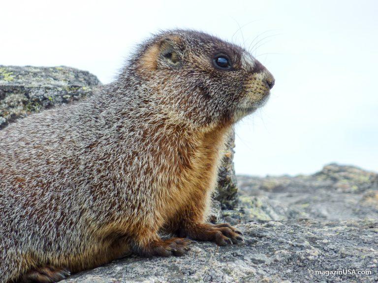 Groundhog Day (=Murmeltiertag), Pennsylvania, immer am 2. Februar