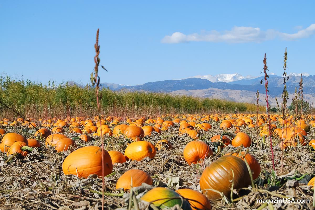 Kürbis Feld -- der Pumpkin ist ein Symbol für Thanksgiving in den USA