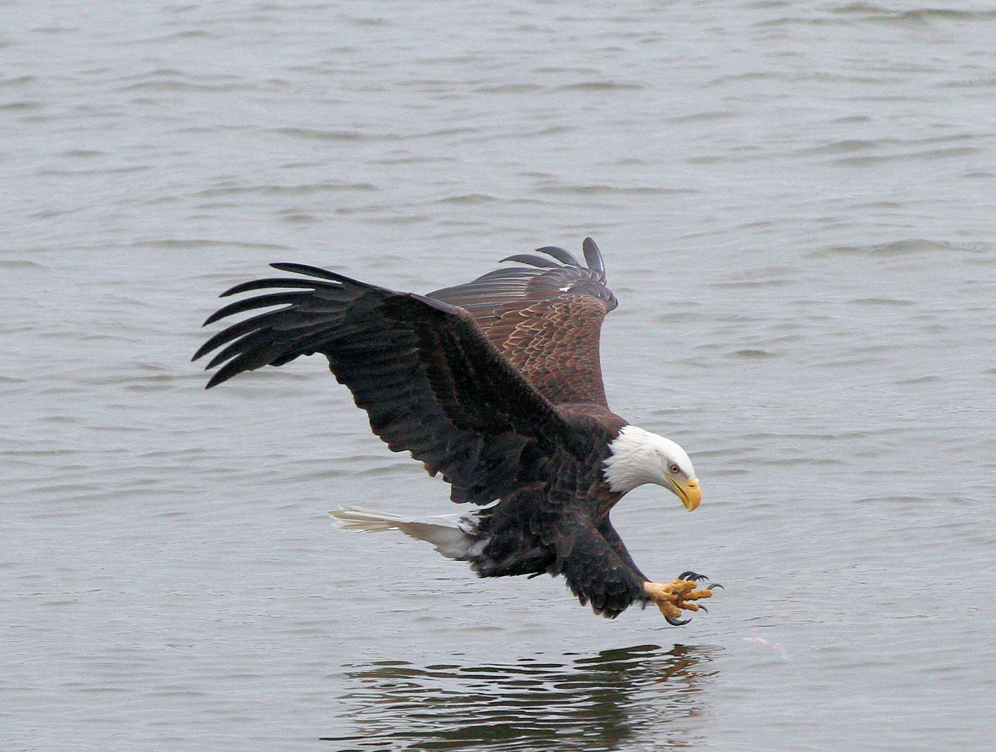 Great River Road Illinois - Weißkopfseeadler auf Fischfang - Foto Great River Road Illinois