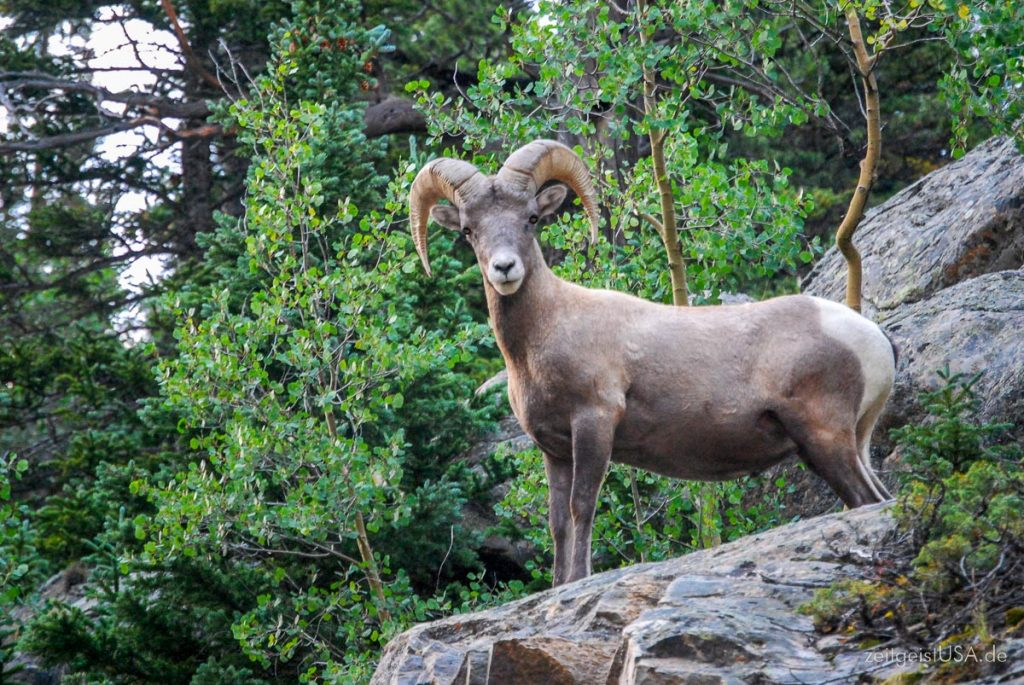 Bighorn Sheep -- Rocky Mountain Nationalpark