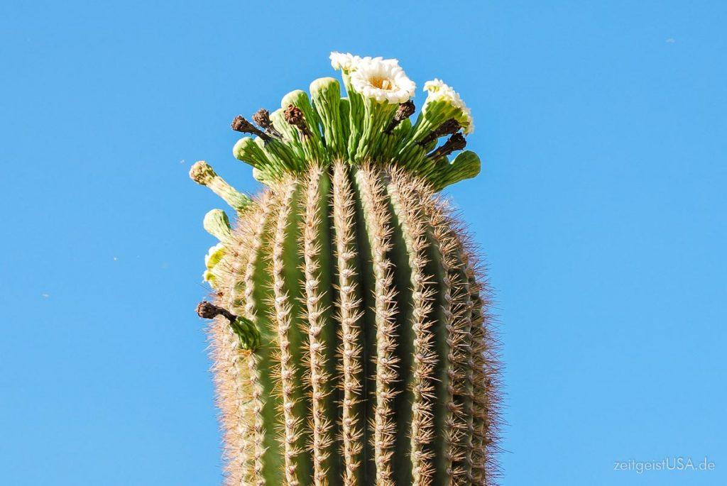 Saguaro Cactus in der Blütezeit, ca. Mai/Juni