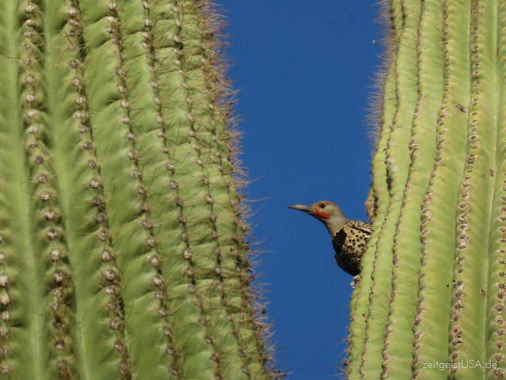 Spechte nisten im Saguaro Cactus
