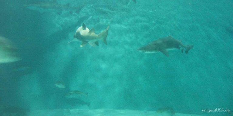 Haie, Jellyfish (Quallen) & Stingray (Stachelrochen) in amerikanischen Meeren