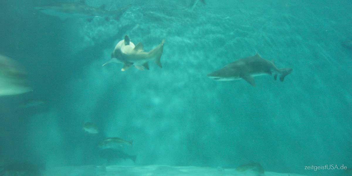 Haie in amerikanischen Gewässern
