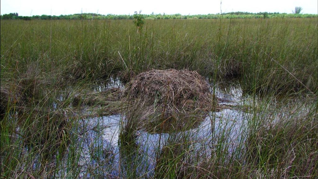 Everglades Nationalpark, Florida: Alligator Nest (photo: NPS)