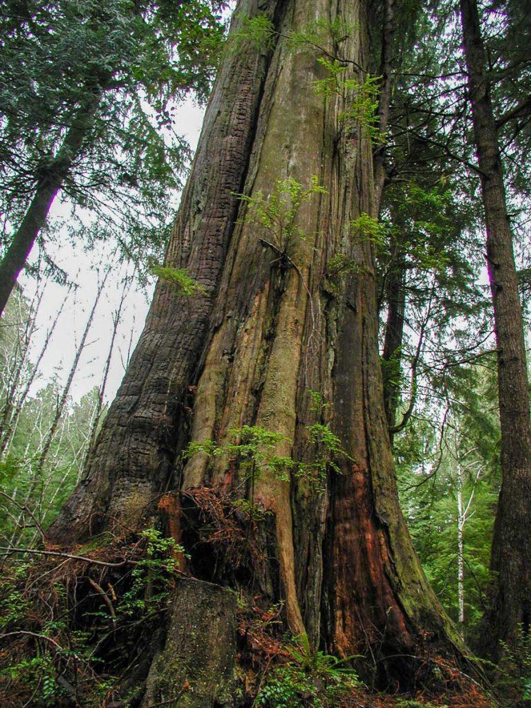 Regenwald im Olympic Nationalpark, Washington State, im Nordwesten der USA
