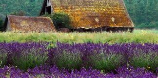 Sequim Lavender Festival (photo: Sequim Lavender Festival; D. Dungeness)