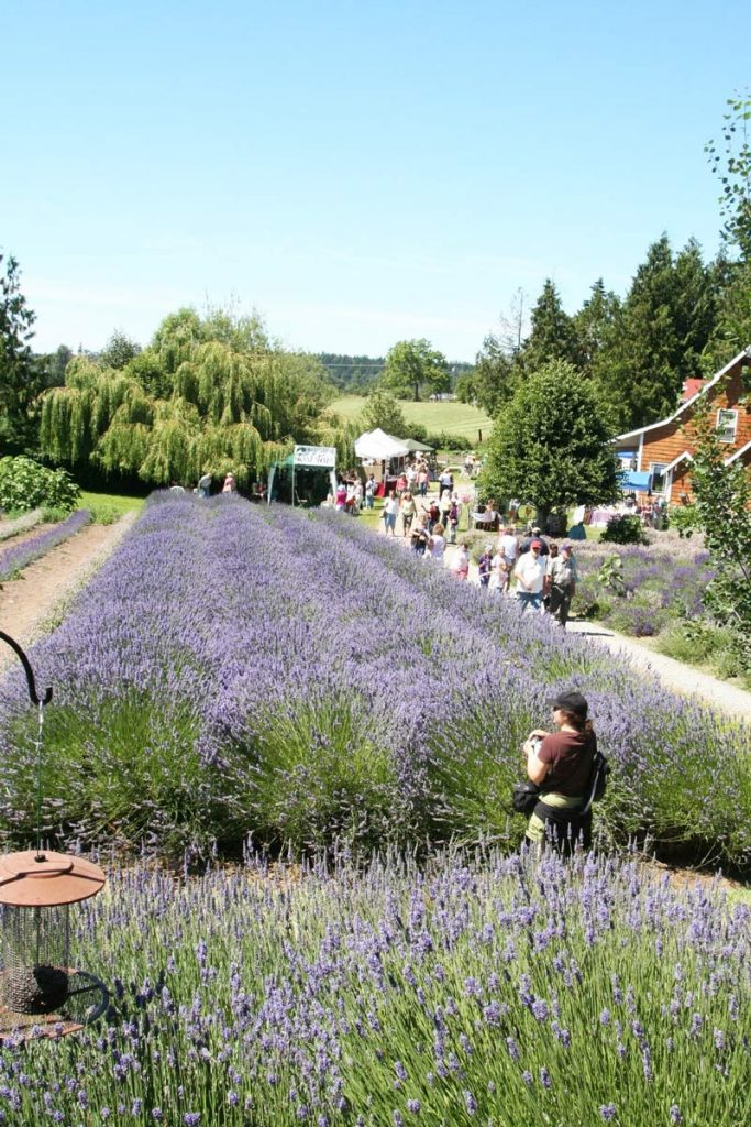 Sequim Lavender Festival (photo: Sequim Lavender Festival)