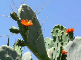 Cactus Blütezeit zwischen März und Mai/Juni