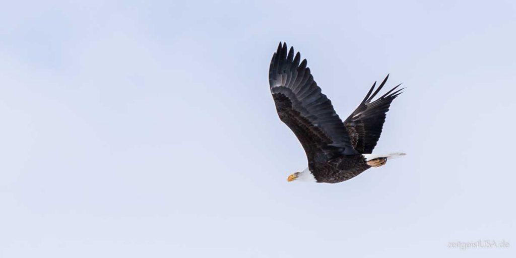 Bald Eagle (Weißkopfseeadler) Wappentier der USA