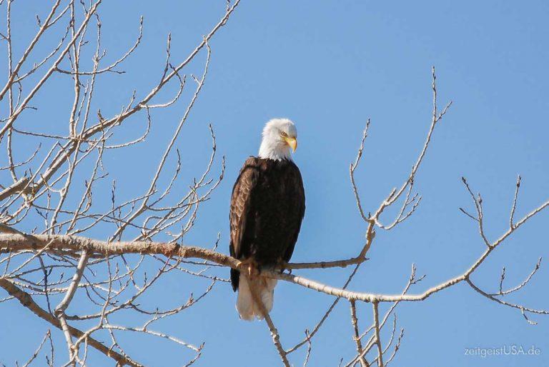 Der Bald Eagle – Weißkopfseeadler – Symbol der USA
