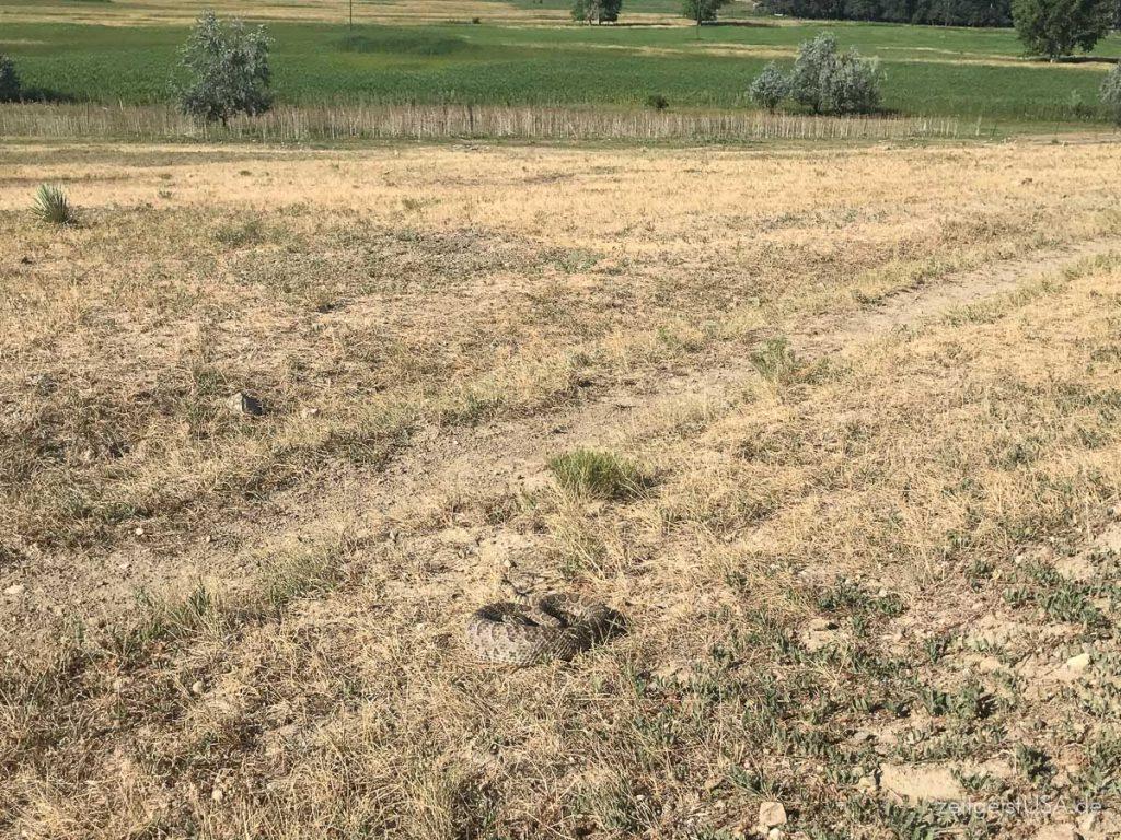 Klapperschlange im Prairiegras neben Wanderweg