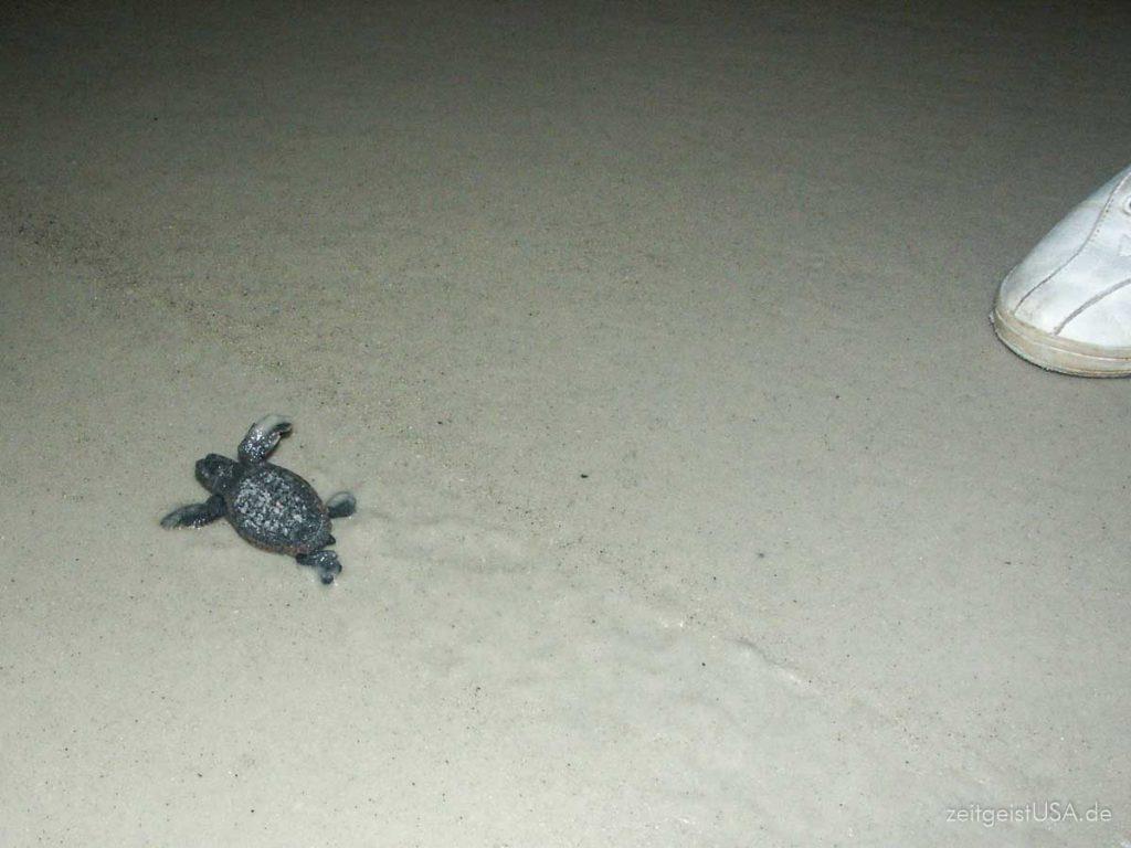 Gerade geschlüpfte Sea Turtle